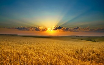 Golden-Grain-Field-600x375